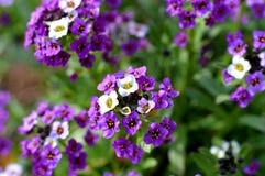 Verbena kwiat Zdjęcia Royalty Free