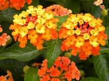 Verbena kwiaty Fotografia Stock