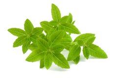 Verbena. Lemon verbena isolated on white background Royalty Free Stock Images