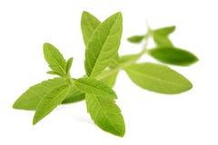 Verbena. Lemon verbena  on white background Stock Photography