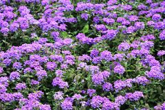 Verbena Mass bed at Central Park Regina. Verbena Mass of flowers at Central Park Regina Saskatchewan Stock Photo