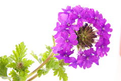 Verbena púrpura Imagenes de archivo