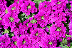 Verbena pink Stock Photos
