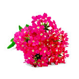 Verbena pink with leaf Stock Images