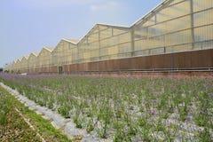 Verbena porpora di fioritura lungo le serre Fotografia Stock Libera da Diritti