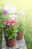 Verbena, in pots on sunlight Royalty Free Stock Photos