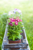 Verbena, in pots in wooden box Stock Images
