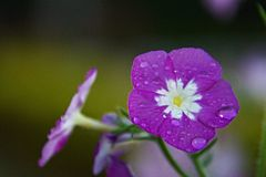 Verbena Purple Flower with Dew Drops Royalty Free Stock Photo