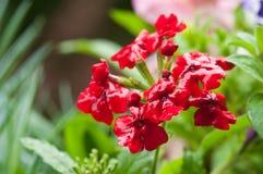 Verbena roja Foto de archivo libre de regalías