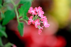 Verbena rosa fotografia stock libera da diritti