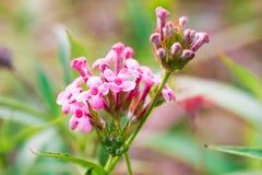 Verbena rosa, isolato del fiore di disambiguazione nell'estate di primavera fotografia stock libera da diritti