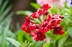 Verbena rossa Fotografia Stock Libera da Diritti