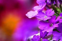 Verbena (Verbenaceae). Closeup of Verbena (Verbenaceae) with beautiful colored background Stock Photography