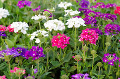 Verbena. (s or vervains ) blooming in garden Royalty Free Stock Images