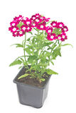 Verbena,verbenas or vervains in pot Royalty Free Stock Image
