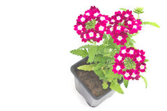 Verbena,verbenas or vervains in pot Stock Photo