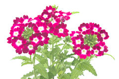 Verbena,verbenas or vervains Stock Photos