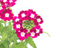 Verbena,verbenas or vervains Royalty Free Stock Photos