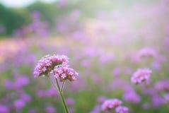 Verbenalilan blommar i parkera Arkivbilder