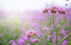 Verbenalilan blommar i parkera Fotografering för Bildbyråer