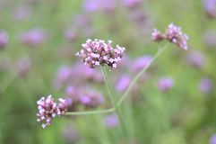 Verbene Bonariensis ist eine purpurrote Blume lizenzfreie stockbilder