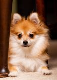 Verbergend Puppy Stock Afbeelding