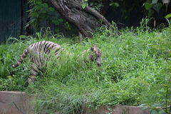 Verbergende witte tijger Royalty-vrije Stock Foto's