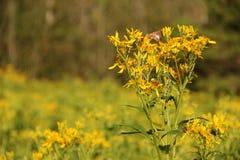 Verbesina occidentalis Royalty Free Stock Photo