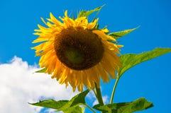 Verbiegende Sonnenblume Lizenzfreie Stockfotografie