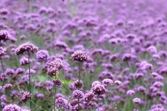Verbina Garden Stock Image