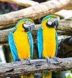 Verbinden Sie Keilschwanzsittich, blau-geflügelten Keilschwanzsittich, gelb-blauer Keilschwanzsittich Lizenzfreie Stockfotografie