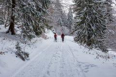 Verbinden Sie Skifahren im Wald bei Poiana Brasov, Siebenbürgen, Rumänien lizenzfreies stockbild