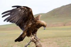 Verbindende gouden adelaar stock foto's