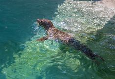 Verbinding die in een Pool zwemmen stock foto's