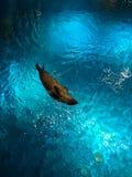Verbinding die in het aquarium zwemmen stock afbeeldingen