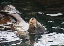 Verbinding die op zijn rug zwemt Stock Fotografie