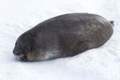 Verbinding die van de puppy de zuidelijke olifant op het ijs liggen Stock Fotografie