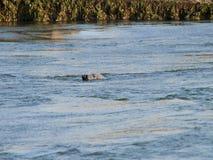 Verbinding het zwemmen Royalty-vrije Stock Foto's