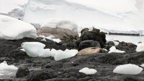Verbinding op sneeuw rotsachtige kust in oceaan van Antarctica stock video