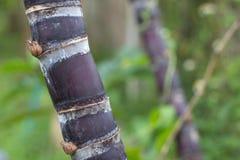 Verbinding van Suikerriet Stock Foto