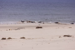 Verbindingen en vogels elk op het Eiland van het Noordenfrisian Amrum Royalty-vrije Stock Foto's