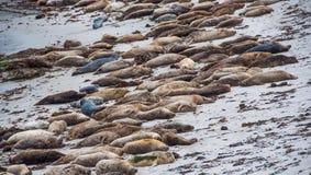 Verbindingsleeuwen die op het strand in Monterey liggen Stock Foto's
