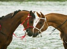 In Verbindung stehen mit zwei Rennpferden lizenzfreies stockfoto