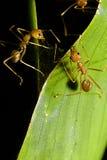 In Verbindung stehende Ameisen Lizenzfreie Stockfotos