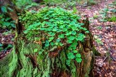 Verblüffen Sie mit Moos und Klee im Wald Stockfoto