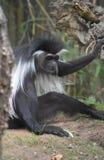 Verblüffter Colobus-Affe, der aus den Grund neben einem Baum sitzt Lizenzfreies Stockbild