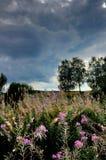Verblaßt Fireweed Sommer Stockfoto