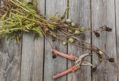 Verblaßte Mohnblume und Baumschere Stockbilder