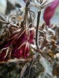 Verblaßte Pelargonienblume Lizenzfreie Stockbilder