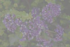 Verblaßter Hintergrund, kleiner purpurroter und weißer Strauch blüht Stockbild